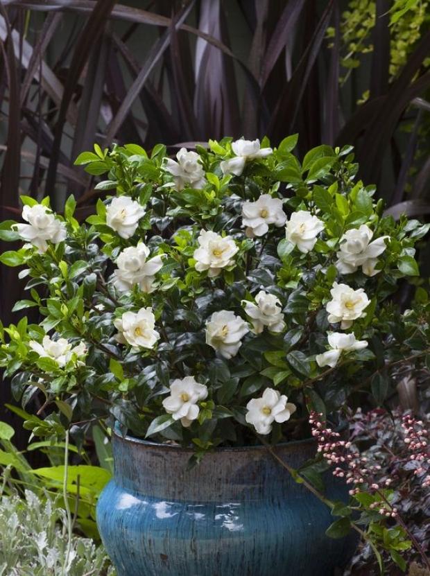 6. Gardenya